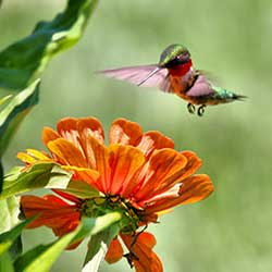Hummingbird pollinating a flower blossom